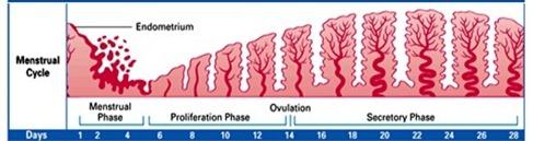 endometric cycle