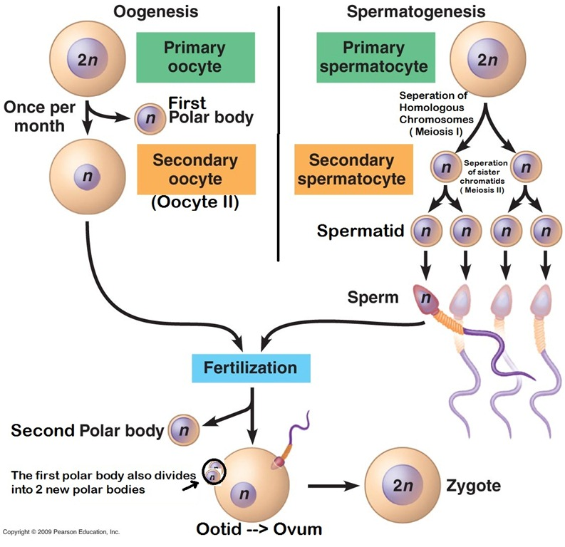 Spermatogenesis and oogenesis made simple the warak warak method as we all know spermatogenesis and oogenesis are two processes that are initiated in the human gonads to produce gametes ccuart
