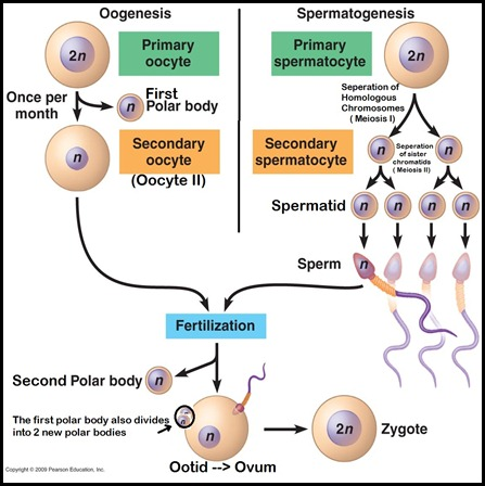 Spermatogenesis and Oogenesis Made Simple!