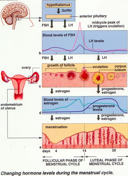 How to Study th... Female Period Cycle