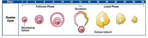 How to Study the Female Sexual Cycle in little TIME! (1/6)